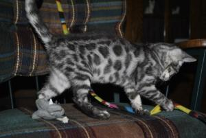 Charcoal Bengal kittens for sale  from Cataristocrat Cattery