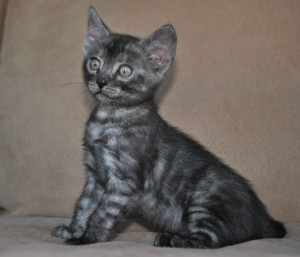 Pure Bengal kitten for sale.
