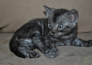 Silver Bengal kitten for sale.