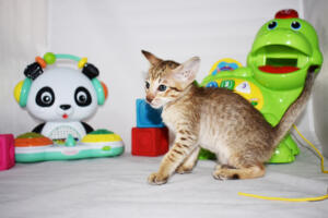 Maya 5 weeks (2)-Oriental kitten for sale Cataristocrat