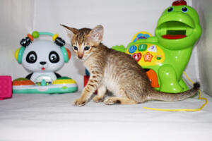 Maya 5 weeks (6)-Oriental kitten for sale Cataristocrat