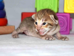 Oriental shorthair cats for sale from Cataristocrat Cattery
