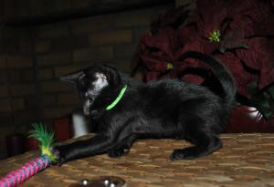 Miss Univers Oriental shorthair cat for sale from Cataristocrat Cattery