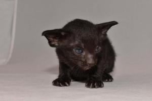 Morrighan Oriental kitty for sale  from Cataristocrat Cattery