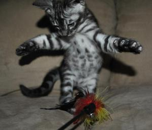 Mowgli bengal silver male kitten for sale from our Cattery