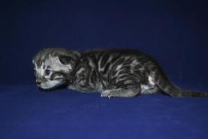 Mowgli bengal silver male cat for sale from our Cattery