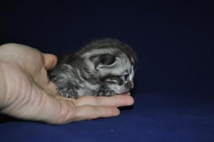 Mowgli bengal cats for sale from our Cattery