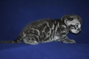 Mowgli silver male bengal  kittens for sale from our Cattery