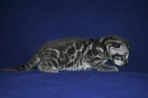 Mowgli bengal silver male kitten for adoption from our Cattery