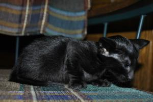 Pure Breed Black Oriental shorthair kitten for sale from Cataristocrat Cattery