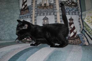 Black Oriental shorthair kitten for sale from Cataristocrat Cattery