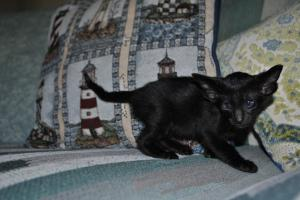 Mysterious  Russian Soul Black Oriental shorthair kitten for sale from Cataristocrat Cattery