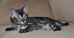 Charcoal Bengal kitten for sale Neva from Cataristocrat Cattery