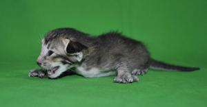 Nelly Oriental shorthair kitten for adopyion from Cataristocrat Cattery