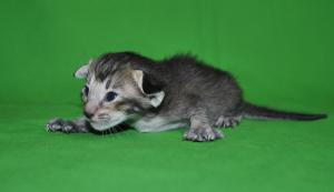 Nelly Oriental shorthair cat for sale from Cataristocrat Cattery