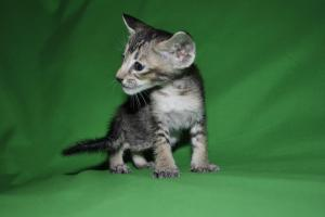 Oriental shorthair kittens for adoption from Cataristocrat Cattery