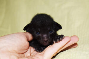 Black Oriental short-hair kitten for sale from Oriental Cattery