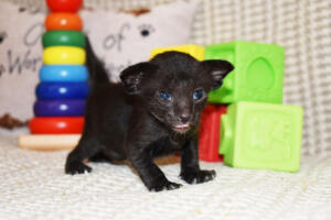 Black Oriental shorthair cat for sale from Cataristocrat cattery Aladdin (2)