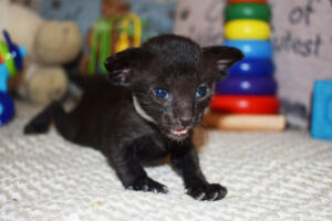 Black Oriental shorthair cat for sale from Cataristocrat cattery Aladdin (3)