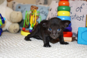 Black Oriental shorthair cat for sale from Cataristocrat cattery Aladdin (5)