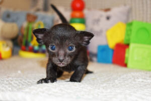 Amazing Oriental shorthair kitten for sale from Cataristocrat