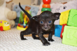 Amazing Oriental shorthair cat for sale from Cataristocrat Cyrus (10)