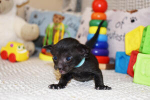 Amazing Oriental shorthair cat for sale from Cataristocrat