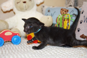 Amazing Oriental shorthair cat for sale from Cataristocrat Cyrus (5)