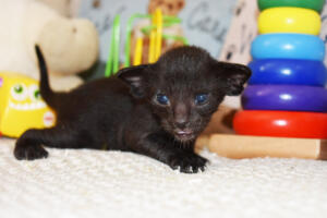 Pure breed Oriental shorthair kitten for sale from Cataristocrat  Elbrus
