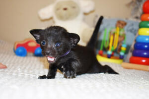 Pure breed Black Oriental shorthair cat for sale from Cataristocrat  Elbrus