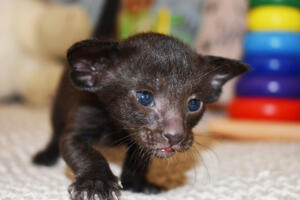 Oriental shorthair cat for sale from Cataristocrat Thais of Athen