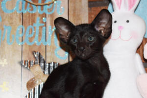 Oriental Shorthair Kitten for sale Thais of Athenes 8weeks (1)-march