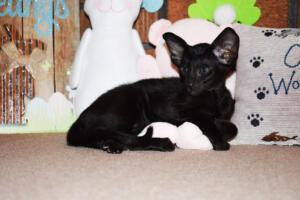 Oriental Shorthair Kitten for sale Thais of Athenes 8weeks (10)-march