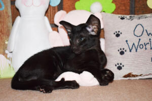 Oriental Shorthair Kitten for sale Thais of Athenes 8weeks (11)-march