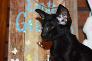 Oriental Shorthair Kitten for sale Thais of Athenes 8weeks (12)-march