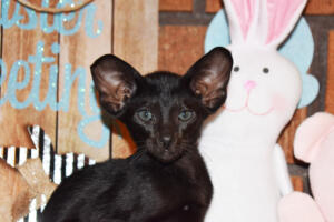 Oriental Shorthair Kitten for sale Thais of Athenes 8weeks (2)-march