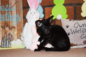 Oriental Shorthair Kitten for sale Thais of Athenes 8weeks (4)-march