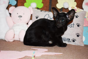 Oriental Shorthair Kitten for sale Thais of Athenes 8weeks (5)-march