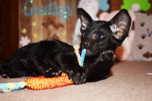 Oriental Shorthair Kitten for sale Thais of Athenes 8weeks (7)-march