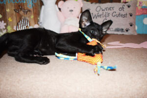 Oriental Shorthair Kitten for sale Thais of Athenes 8weeks (8)-march