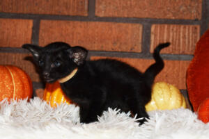 Oriental short-hair kitten for sale from Cataristocrat Barney 4 weeks (1)