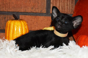 Oriental short-hair kitten for sale from Cataristocrat Barney 4 weeks (10)