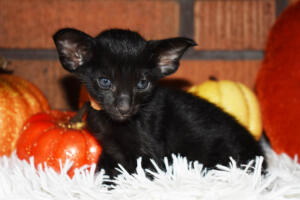 Oriental short-hair kitten for sale from Cataristocrat Barney 4 weeks (2)