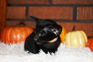 Oriental short-hair kitten for sale from Cataristocrat Barney 4 weeks (3)