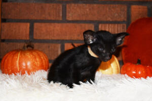 Oriental short-hair kitten for sale from Cataristocrat Barney 4 weeks (4)