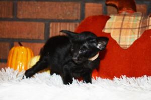 Oriental short-hair kitten for sale from Cataristocrat Barney 4 weeks (5)