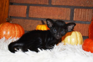 Oriental short-hair kitten for sale from Cataristocrat Barney 4 weeks (8)
