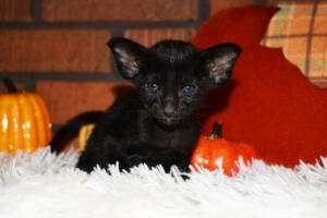 Oriental short-hair kitten for sale from Cataristocrat Barney 4 weeks (9)