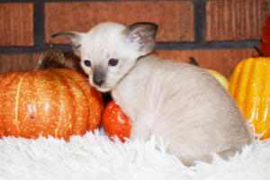 Oriental short-hair kitten for sale from Cataristocrat Casper4 weeks (1)