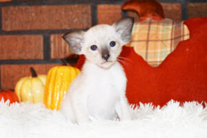Oriental short-hair kitten for sale from Cataristocrat Casper4 weeks (10)